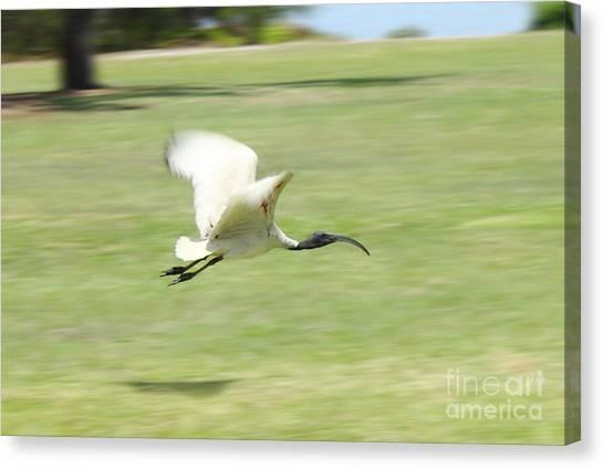 Flying Ibis Canvas Print
