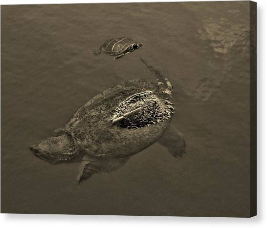 Snapping Turtles Canvas Print - Following by Bob Geary
