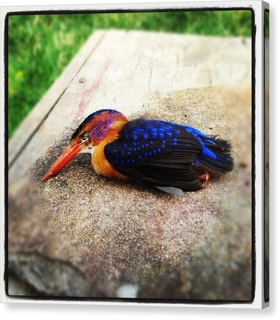Kingfisher Canvas Print - For Biology Class The Other Day We by Grant Swanepoel