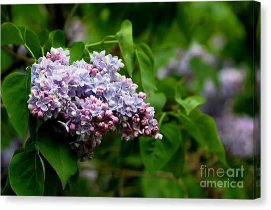 For The Love Of Lilac Canvas Print