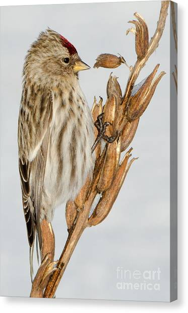 Foraging Redpoll Canvas Print