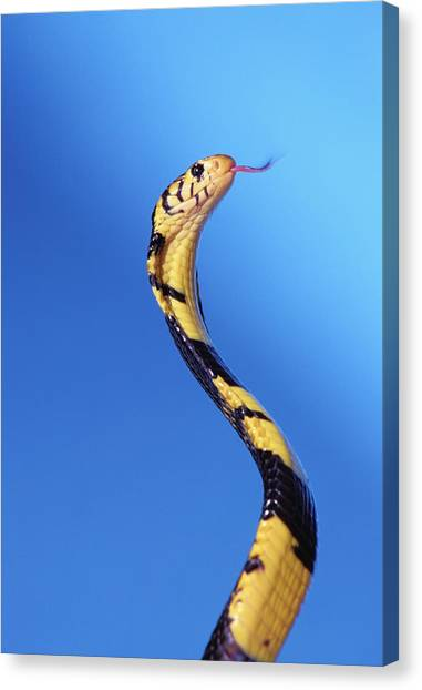 Venemous Snakes Canvas Print - Forest Cobra Naja Melanoleuca by Thomas Kitchin & Victoria Hurst