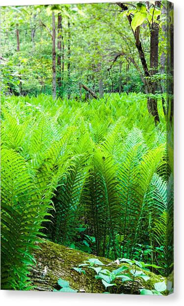 Forest Ferns   Canvas Print