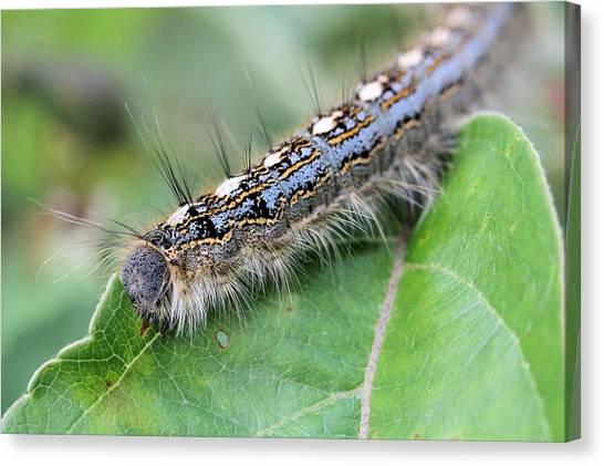 Forest Tent Caterpillar Canvas Print