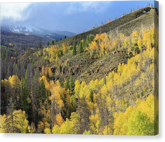 Colorado Rockies Canvas Print - Forested Divided, Healthy Aspens, Dying by Maresa Pryor