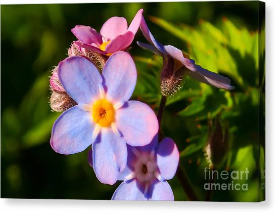 Forget-me-knots Canvas Print