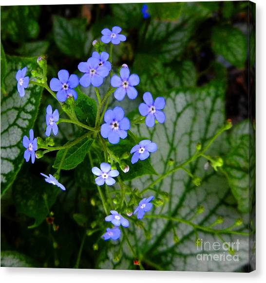 Forget-me-not Canvas Print by Marcia Nichols