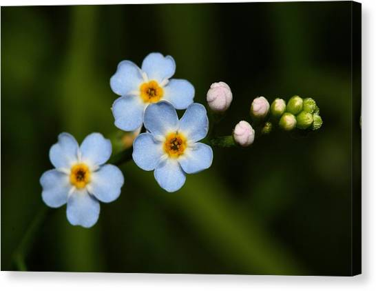 Forget Me Not Canvas Print by Mike Farslow
