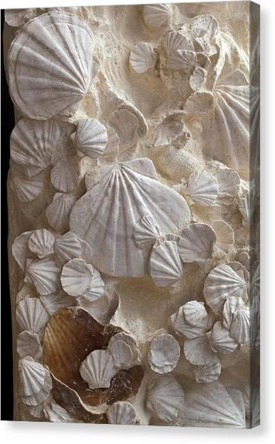 Clams Canvas Print - Fossil Pecten Shells by Dirk Wiersma