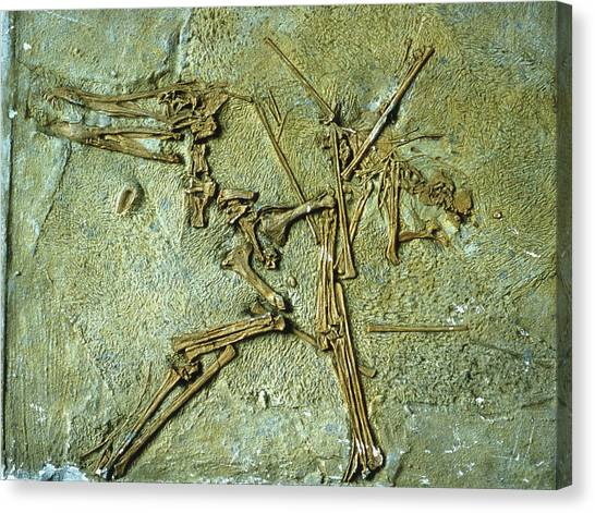Pterodactyls Canvas Print - Fossil Remains Of The Pterodactyl by Sinclair Stammers/science Photo Library.
