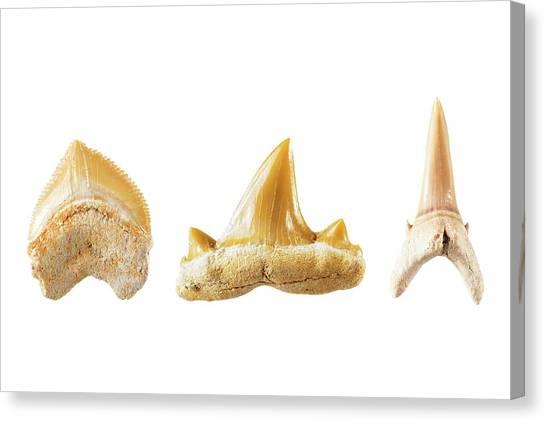 Shark Teeth Canvas Print - Fossil Shark Teeth. by Geoff Kidd/science Photo Library