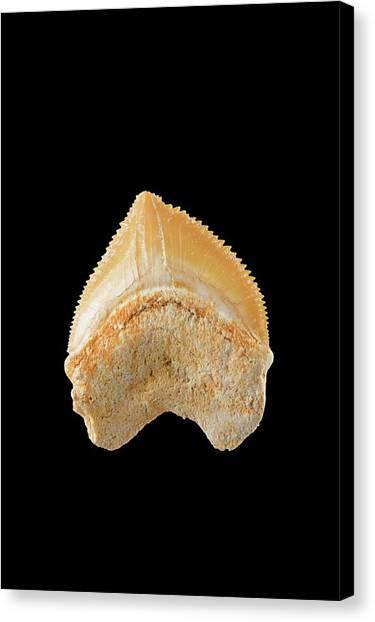 Shark Teeth Canvas Print - Fossil Shark Tooth by Geoff Kidd/science Photo Library