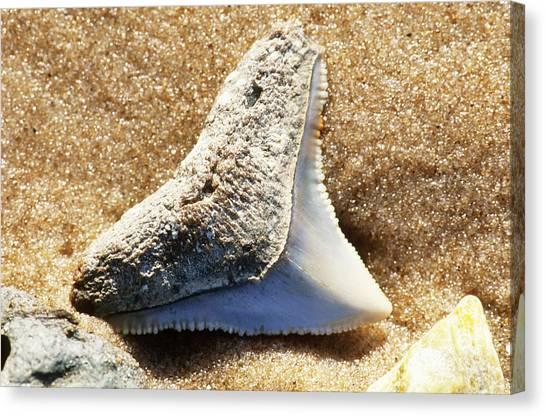 Shark Teeth Canvas Print - Fossil Shark Tooth by Millard H Sharp