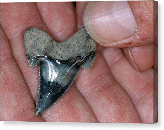 Shark Teeth Canvas Print - Fossil Shark Tooth by Sinclair Stammers/science Photo Library