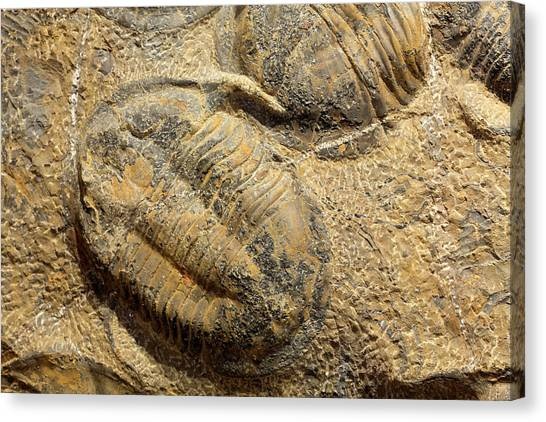 Moroccon Canvas Print - Fossil Trilobites (asaphus) by Science Stock Photography