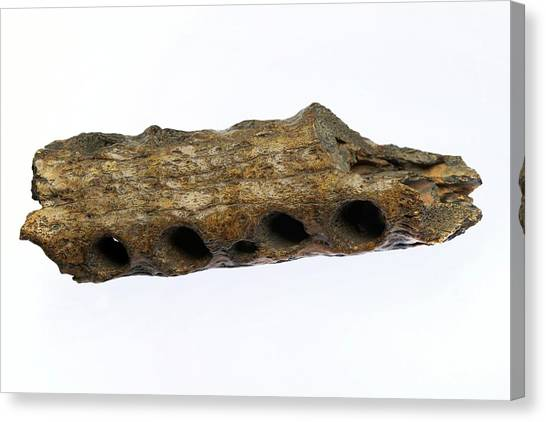 Crocodiles Canvas Print - Fossilised Gharial Crocodile Snout by Sinclair Stammers