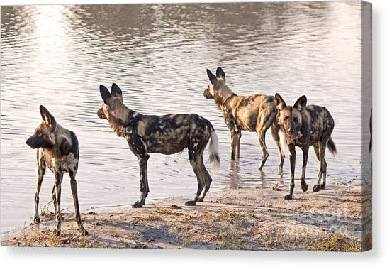 Four Alert African Wild Dogs Canvas Print