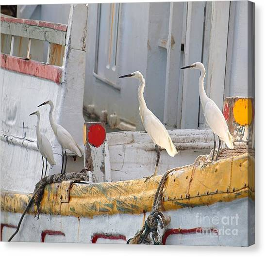 Four Egrets Watch For Fish Canvas Print