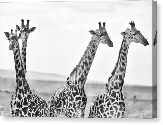 Giraffes Canvas Print - Four Giraffes by Adam Romanowicz
