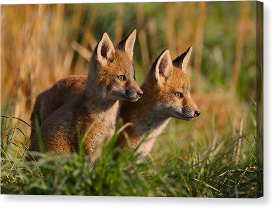 Fox Cubs At Sunrise Canvas Print