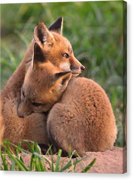 Fox Cubs Cuddle Canvas Print