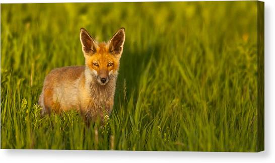 Fox In Grass  Canvas Print