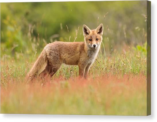 Carnivore Canvas Print - Fox Kit In A Field Of Sorrel by Roeselien Raimond