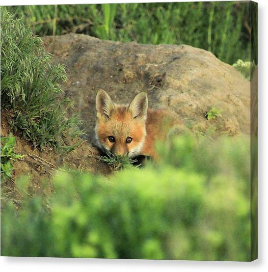 Fox Kit V Canvas Print