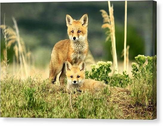 Fox Kits II Canvas Print
