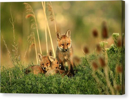 Fox Kits Iv Canvas Print