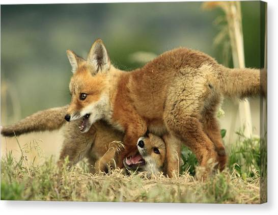 Fox Kits Canvas Print