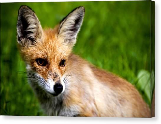 Small Mammals Canvas Print - Fox Pup by Fabrizio Troiani