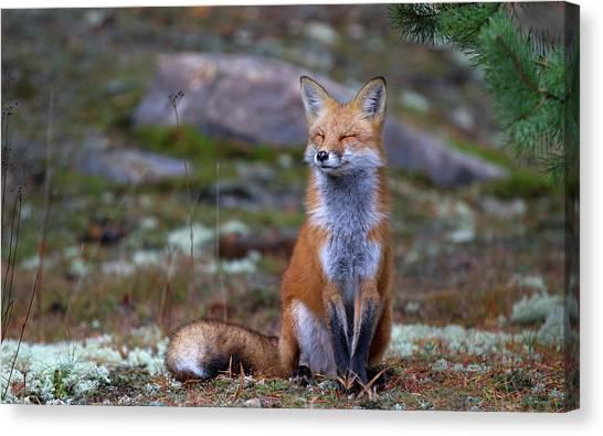 Ontario Canvas Print - Fox Zen - Algonquin Park by Jim Cumming