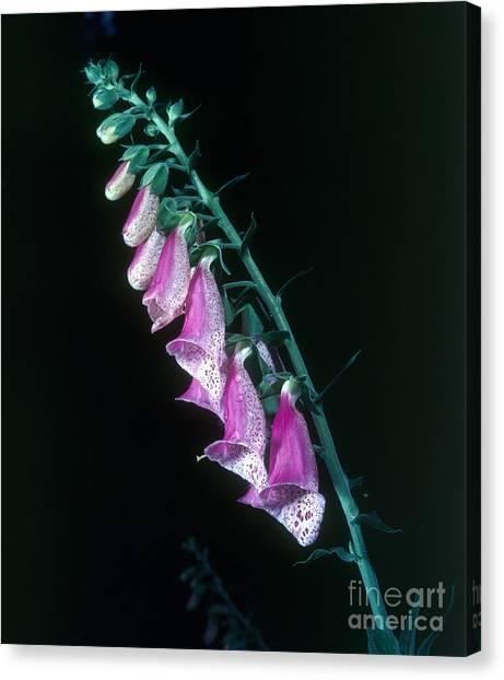 Foxglove Flowers Canvas Print - Foxglove Digitalis Purpurea by Tierbild Okapia