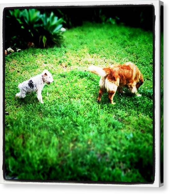 Foxes Canvas Print - Foxy & Goldie #dogs #dog #fox #terrier by Pedro Miranda