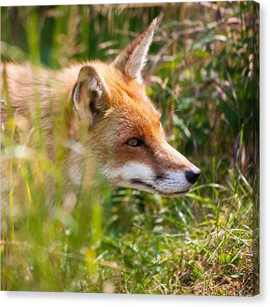 Foxes Canvas Print - Foxy by Mark Noble