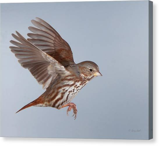 Foxy The Sparrow Canvas Print by Gerry Sibell