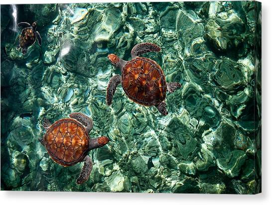 Fragile Underwater World. Sea Turtles In A Crystal Water. Maldives Canvas Print