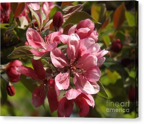 Fragrant Crab Apple Blossoms Canvas Print