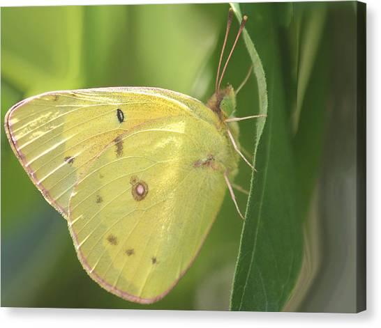 Sulfur Butterfly Canvas Print - Frail Beauty by The Art Of Marilyn Ridoutt-Greene