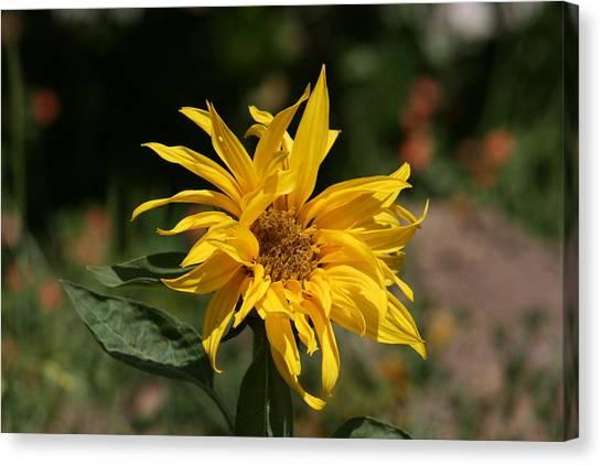 Frail Sunflower Canvas Print