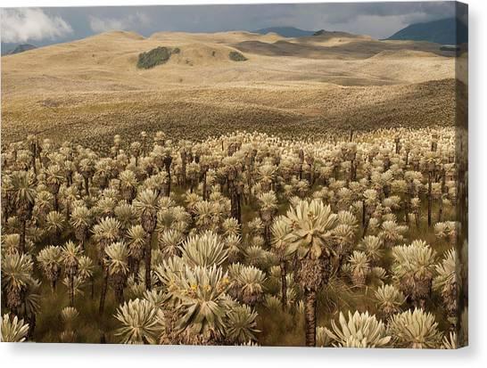Colombian Canvas Print - Frailejones', Espeletia Pycnophylla by Pete Oxford
