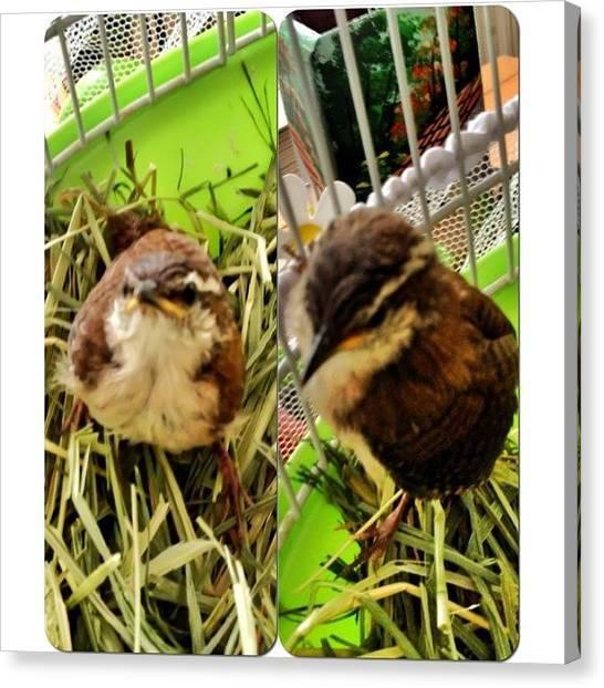 Wrens Canvas Print - #framemagic #baby #bird #wren by Lori Lynn Gager