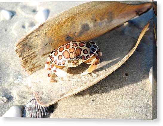 Frank The Spotted Crab Of Anna Maria Canvas Print