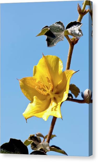Flannel Canvas Print - Fremontodendron Californicum X Mexicanum by Dan Sams/science Photo Library