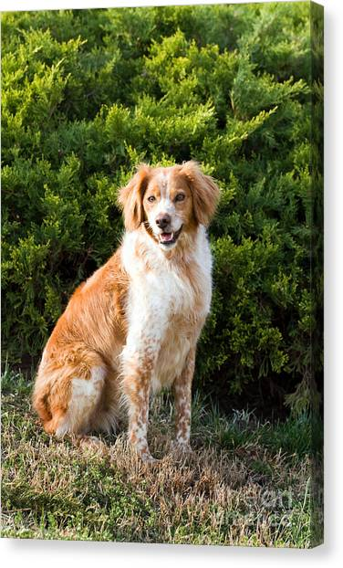 French Brittany Spaniel Canvas Print