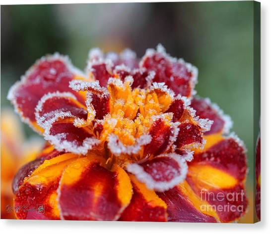 Canvas Print - French Marigold Named Durango Red Outlined With Frost by J McCombie