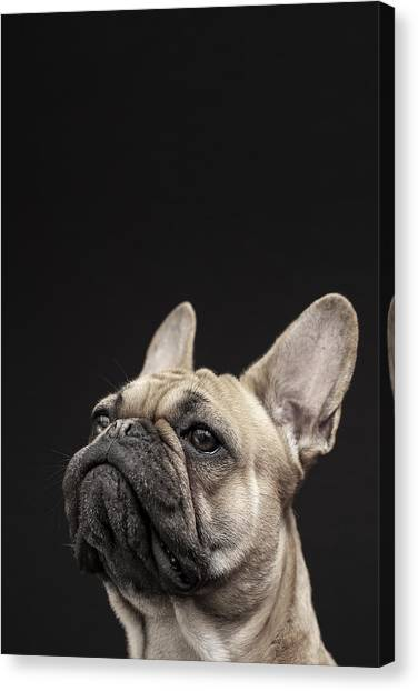 Ears Canvas Print - Frenchie by Samuel Whitton