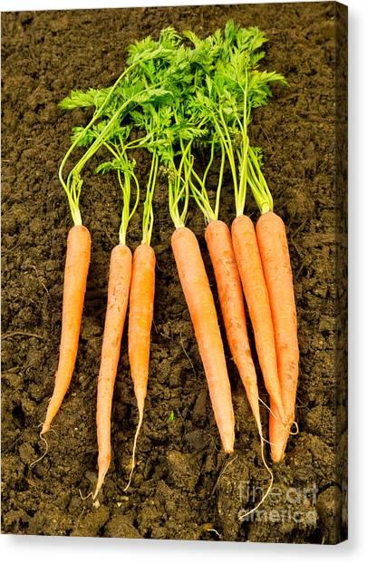 Carrots Canvas Print - Fresh Carrots by Edward Fielding