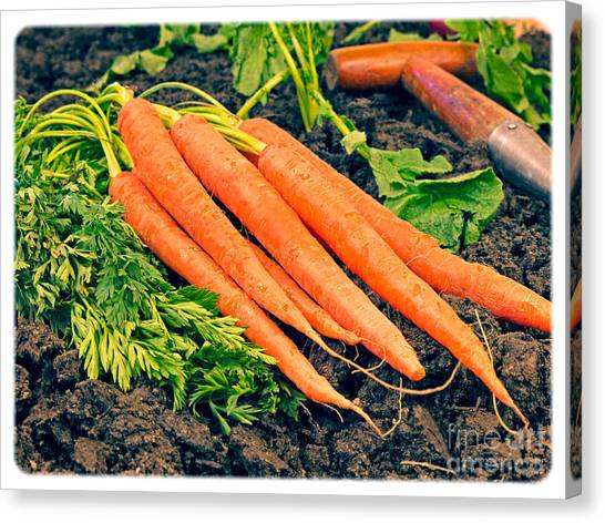 Carrots Canvas Print - Fresh Carrots From The Garden by Edward Fielding